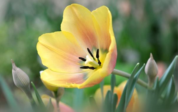 Фото обои жёлтый, тюльпан, лепестки
