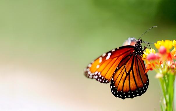 Фото обои цветы, фон, бабочка