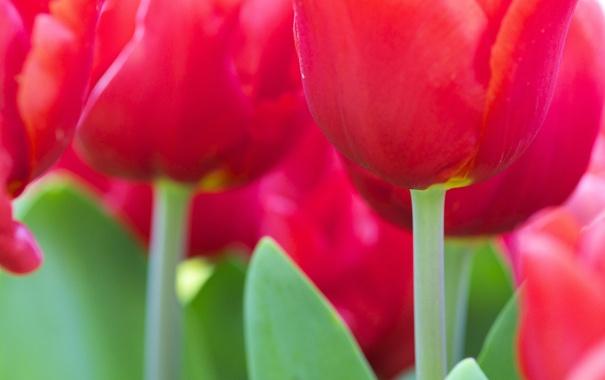 Фото обои макро, тюльпаны, много, розовые, цветы