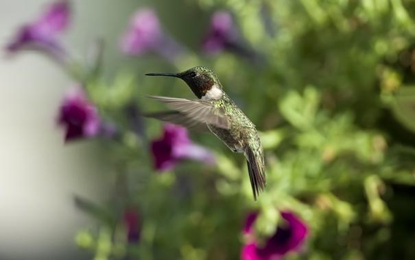 Фото обои солнце, цветы, птица, колибри, петунии