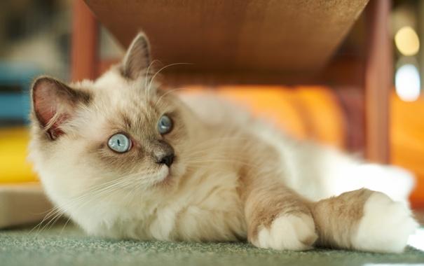 Фото обои кошка, мех, лежа, сиамская