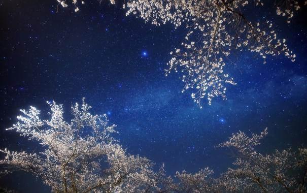 Фото обои сакура, звезды, ночь, небо