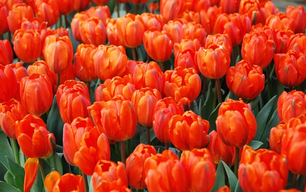 Фото обои тюльпаны, бутоны, алые