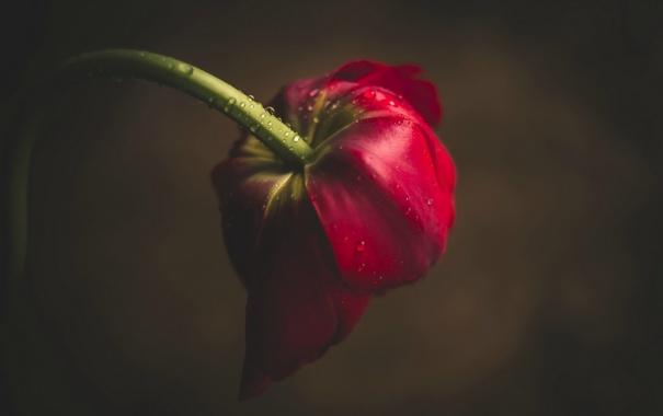 Фото обои цветок, капли, тюльпан