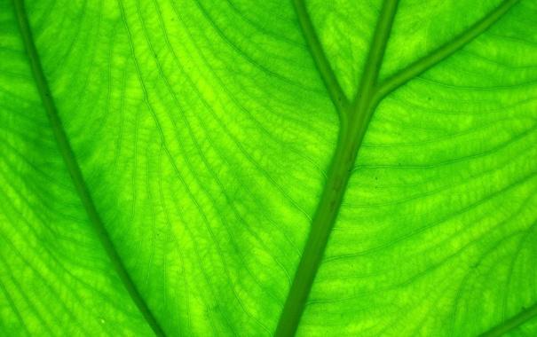 Фото обои зелень, листья, природа, green, листок, зелёный, leaves