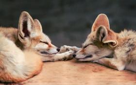 Обои спят, феник, лисы, двое