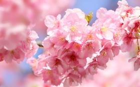 Картинка листья, цветы, ветки, весна, лепестки, сакура, цветение