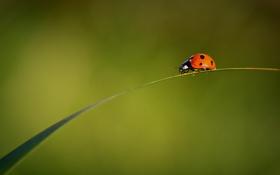 Картинка лист, насекомое, травинка, божья коровка