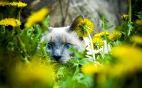 Картинка кошка, кот, взгляд, морда, цветы, одуванчики