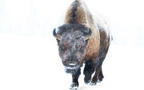 Картинка зима, снег, фон, метель, бизон