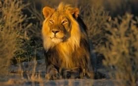 Картинка лев, грива, самец
