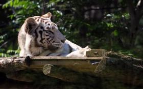 Обои морда, отдых, хищник, белый тигр, дикая кошка, зоопарк