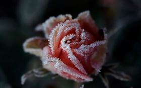 Обои иней, Роза, изморозь