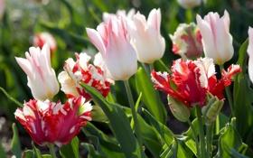 Картинка цветы, тюльпаны, красные, белые, бутоны