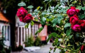 Обои улица, куст, розы, красные