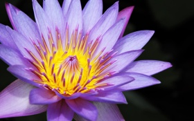 Обои лотос, Nelumbo nucifera, цветок