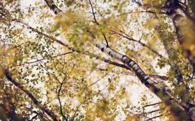 Картинка березы, nature, ветки, лето, листва, листья, кроны