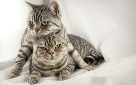 Обои кошки, коты, серые, британские, тигровые, короткошерстные