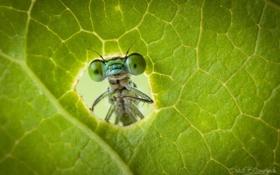 Обои макро, зеленый, насекомое, лис, стркоза