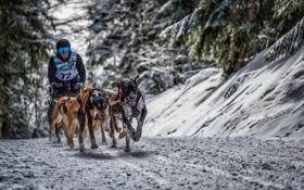 Обои собаки, снег, гонка, спорт