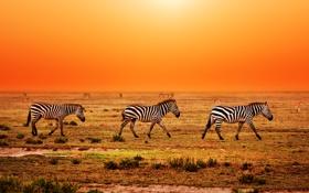 Обои зебры, закат, трава, Африка