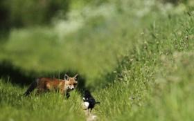 Картинка трава, встреча, рыжий, лисенок, сорока
