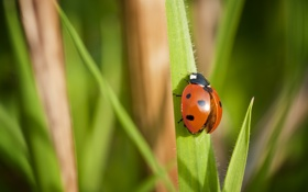 Картинка макро, божья коровка, жук, насекомое, травинки, боке