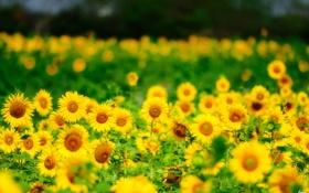 Картинка лето, подсолнухи, цветы, природа, желтые