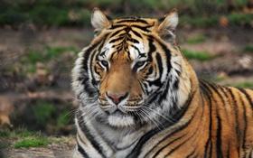 Картинка тигр, животное, хищник