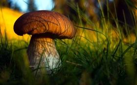 Обои природа, гриб, боровик