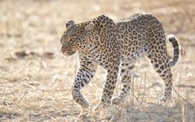 Картинка свет, хищник, пятна, леопард, дикая кошка