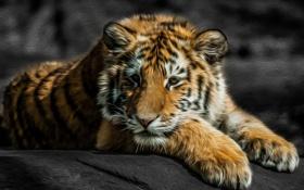 Картинка лапы, линии, морда, фотошоп, тигрёнок
