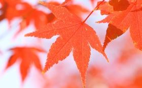 Обои листья, природа, осень, осенние обои, макро