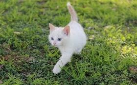 Картинка белый, трава, котенок, голубоглазый