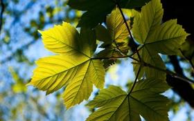Обои листья, солнце, лучи, свет, ветки, природа, клен