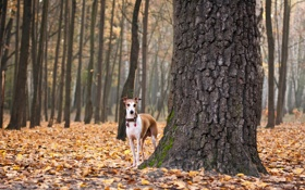 Обои осень, листья, собака