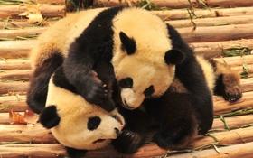 Обои медведи, панды, животные, бамбуковые