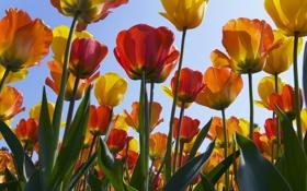 Обои цветы, обои, тюльпаны
