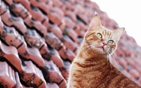 Обои крыша, кот, котик, котяра
