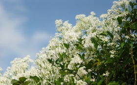Обои цветы, куст, белые, цветки, мелкие