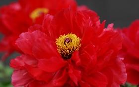 Обои макро, цветок, пион, красный