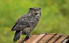 Картинка сова, птица, доски, крик, деревяшки, филин
