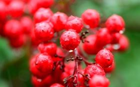 Обои капли, роса, вода, плоды, ягоды
