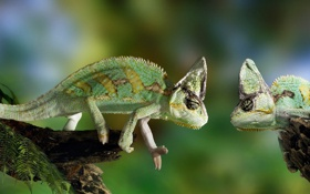 Картинка хамелеон, зелёный, смотрит, chameleon