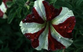Обои белый, красно, Umbrella Corporation