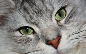 Картинка кошка, взгляд, морда, животное, зеленые глаза