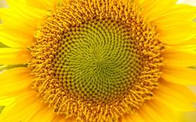 Обои цветок, желтый, природа, растение, подсолнух, лепестки