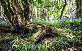 Обои лес, деревья, цветы, корни, весна, синии