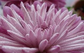 Обои капли, макро, цветы, природа, красота