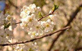 Картинка природа, весна, дерево, лепестки, цветы